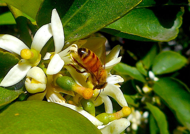 bees pollinating a lime tree flower